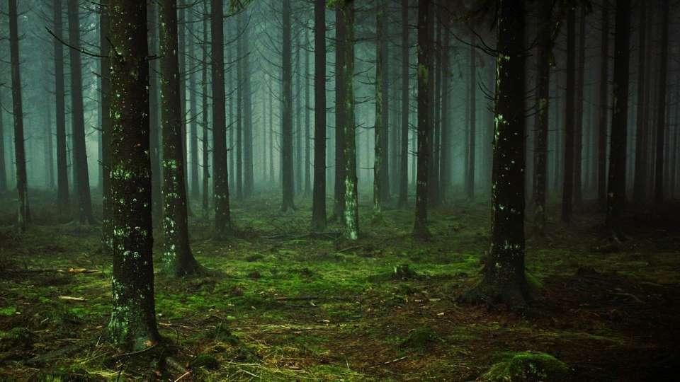 Лес. Туман. Деревья